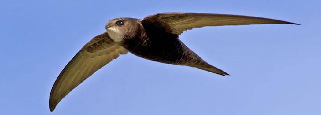 Swifts in Trouble